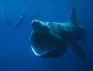 Basking shark with diver