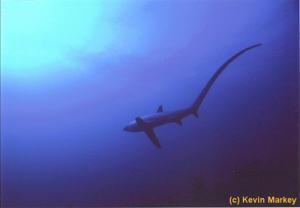 Thresher shark by Kevin Markey